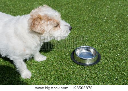 Jack Russell in green gras in garden is ready to drink water
