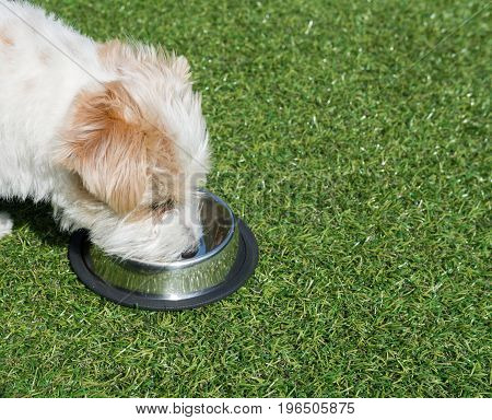 Jack Russell in green gras in garden is eating