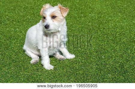 Jack Russell sitting in green gras in garden