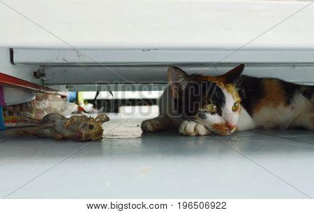 kitten relaxing after hunting rat under shelf in shop