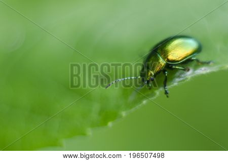 A golden glittering bug. Macro shot depicting a brilliant beetle on a green leaf. Carpathian flora and fauna.