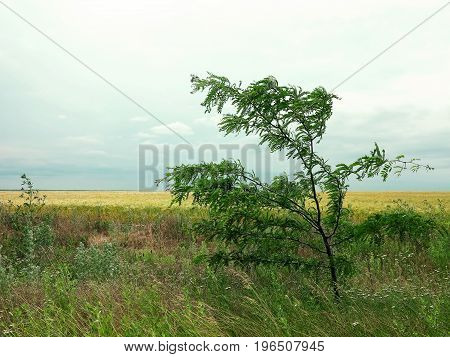 Tree in the wind in steppe. Acacia tree bends to the ground by a strong wind close-up. The backdrop of ripening summer steppe landscape. Beautiful Nature Landscape Wind. Rural landscape under bright sunlight. Labels art design