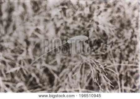 Old Black And White Photo Of Wheat In Field Covered With Dew Drops.