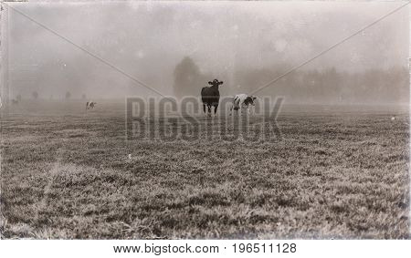 Old Black And White Photo Of Cows In Meadow In Mist.