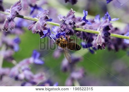 Flowers of Salvia nemorosa with a Bee