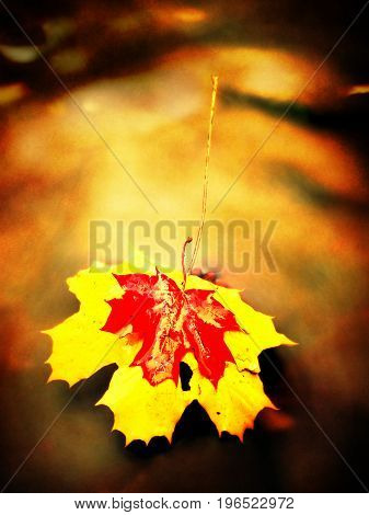 Film Effect.  Red And Yellow Leaves. Fallen Dry Maple Leaf On Water, Leaf Stick On Stone In Mountain