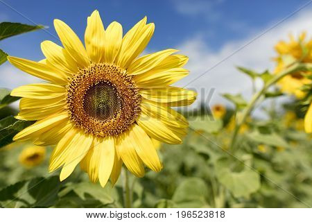 Large and bright blooming sunflower against the blue sky and green field