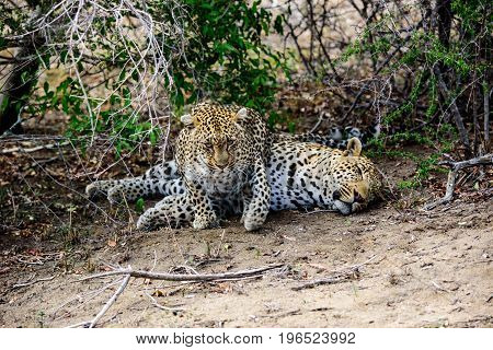 Female leopard trying to entice her partner into action