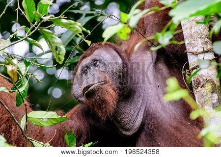 Male flange Orangutan feeding in a tree