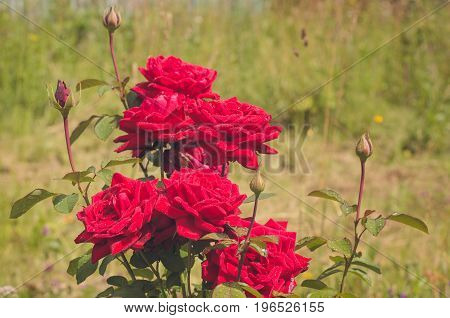 Abundantly blooming bush of scarlet roses in the Summer Garden after rain