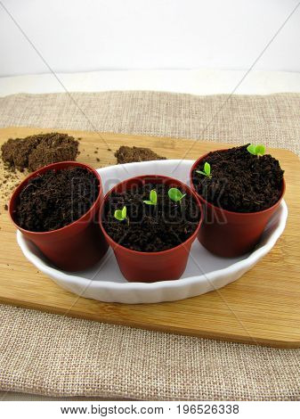 Germinating green plant in a little flowerpot
