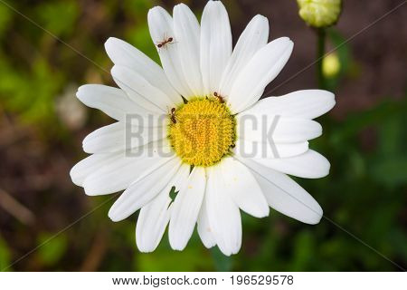 Chamomile in garden and running around on her ants. Symbiosis of plants and insects in the summer.