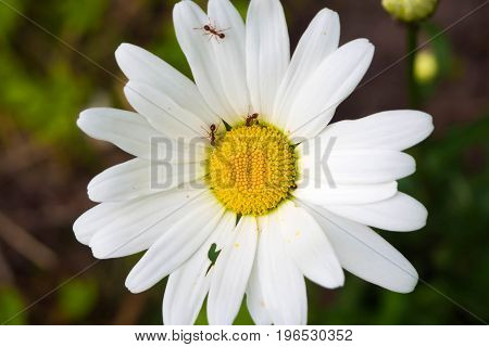 Chamomile in the garden and running around on her ants. Symbiosis of plants and insects in the summer.