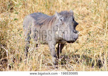 Warthog in the savanna of the Tarangire Park in Tanzania