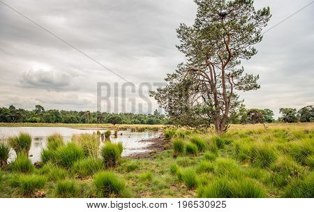 Tall scots pine tree against a cloudy sky and clumps of grass around a small fen in a Dutch nature reserve in the summer season.