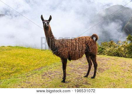 Machu Picchu Peru. The llama at the UNESCO World Heritage Site.