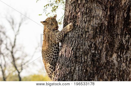 Leopard cub climbing down the trunk of a tree