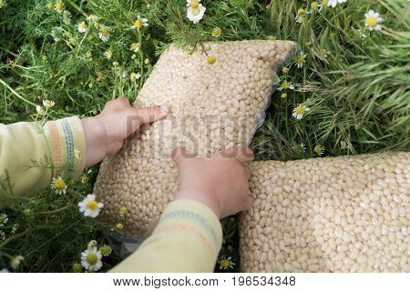 Pack of pine nuts in child's hands on the green gass and chamomile