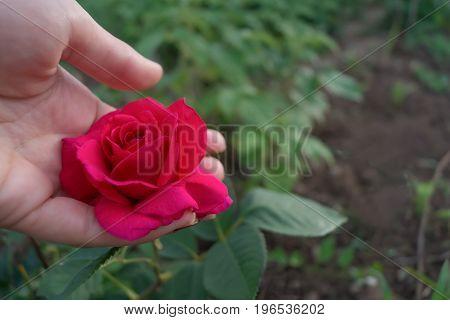 Rose flower in the female hand in the garden