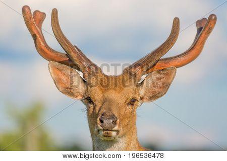 Close up horned deer buck portrait with blue sky background.
