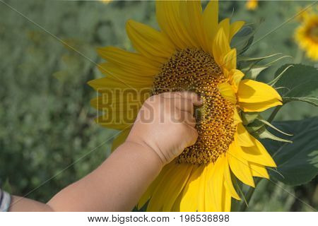 Baby's hand touches sunflower in the field