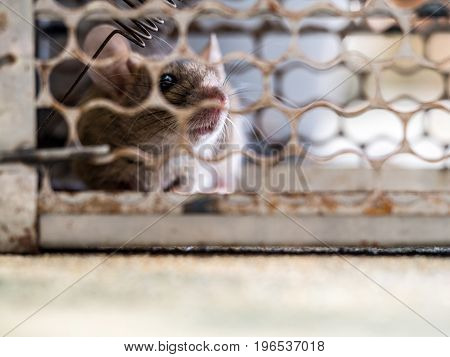 soft focus of the rat was in a cage catching a rat. the rat has contagion the disease to humans such as Leptospirosis Plague Homes and dwellings should not have mice. The eyes of rat show fear.