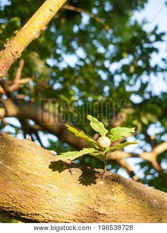 A Single Growing Acorn On An Oak Tree In The Summer Light