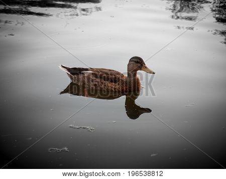 A Vintage Impression Single Female Mallard On Top Of A Lake