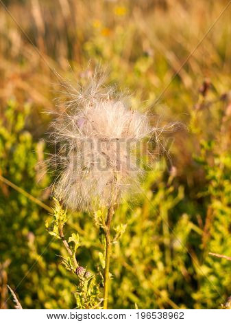 A White Fluffly Cloud Of Milk Thistle Flower Heads In The Summer Windy Field