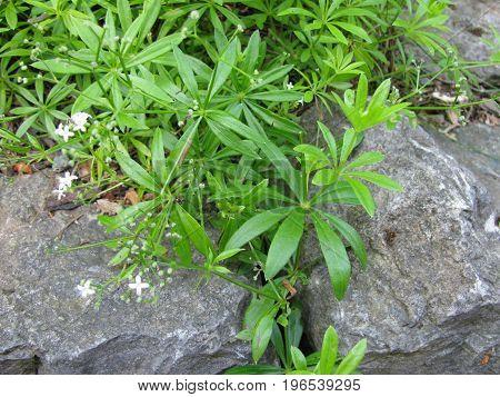 Fresh green galium odoratum in a garden
