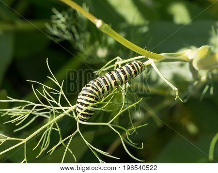 Wet burdened a macro shot of a green Caterpillar (of Papilio / swallowtail butterfly) climbing on a branch
