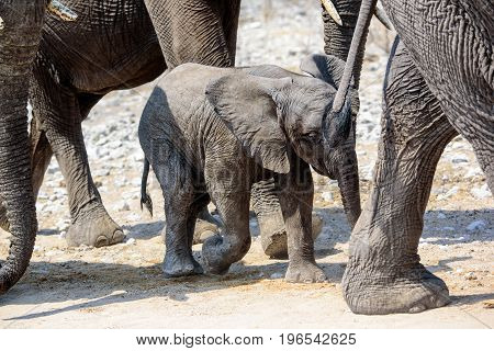 elephant calf walking in mother's footsteps protected by the herd