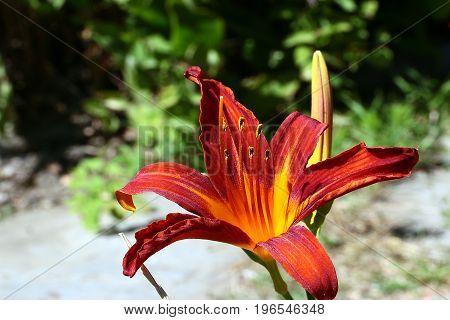 Bright orange flower garden lily as decoration of a suburban dwelling