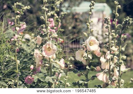 Hollyhock alcea rosea flowers in the garden