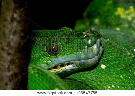 Green Mamba Resting On A Limb