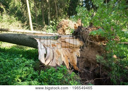 A broken tree by a wind a hurricane. Storm damage