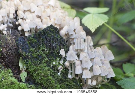 Mushrooms (Coprinus disseminatus) on a stump in a green moss