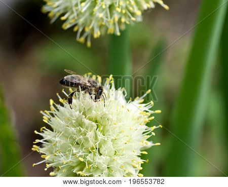 bee collects nectar on a flower of onions