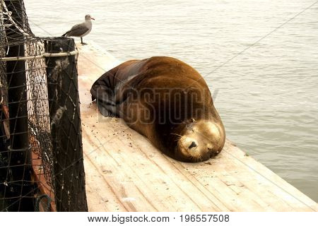 Sea lion (Otariipae) sleeping on dock with seagull watching.