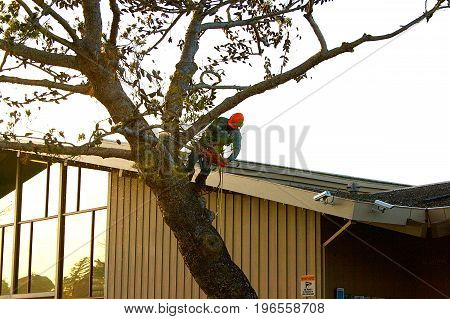 Man standing in tree cutting it down.
