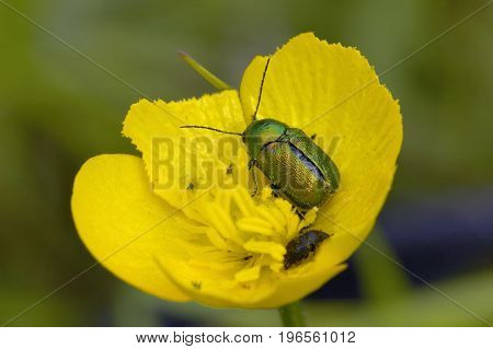 Cryptocephalus hypochaeridis  Green Pollen Beetle on Buttercup