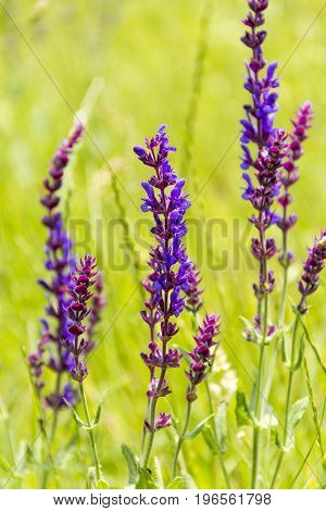 woodland sage flowers closeup in green sunny ambiance