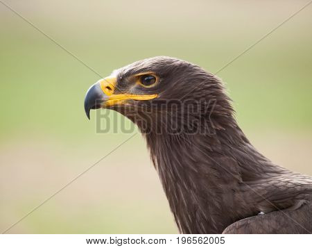 Detail of head of steppe eagle - Aquila nipalensis