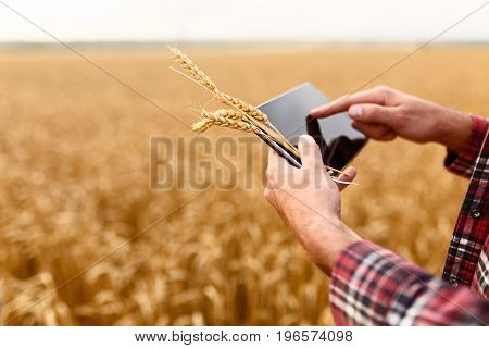 Smart farming, using modern technologies in agriculture. Female agronomist farmer with digital tablet computer in wheat field using apps and internet in agricultural production, selective focus