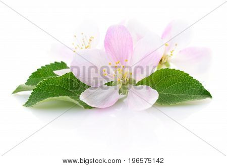 Spring apple flowers with leaves on a white.