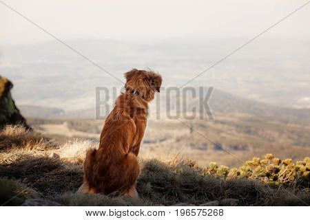 Nova Scotia duck tolling Retriever sits on grass mountain in the background