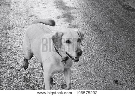 Blonde Labrador (Pogo) with tail wagging. Jogging along the road on a family dog walk