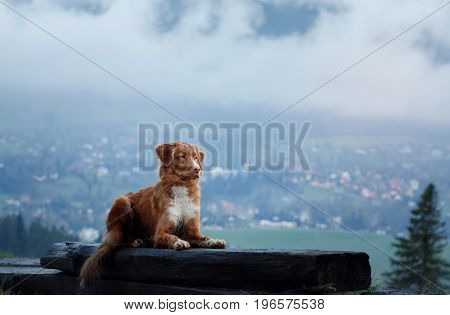 Nova Scotia duck tolling Retriever sitting on the grass on the background of the city in the fog