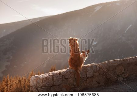 Nova Scotia duck tolling Retriever sits on a rock mountain in the background at sunset