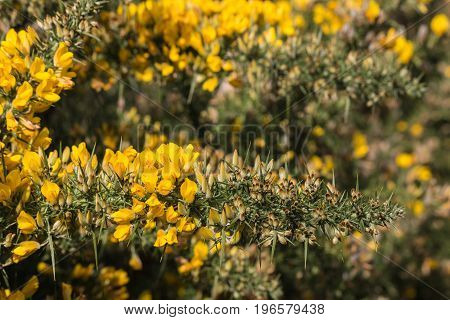 closeup of Scotch broom flowers and thorns